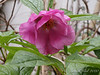 Paeonia mairei, by kitchen porch