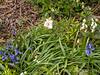 Woods hyacinths, azalea ex Val L, Courtyard