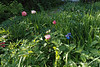 Peonies, Siberian iris, courtyard