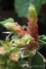 Justicia brigandeeana (Shrimp Plant)