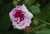 Rose, S of library
