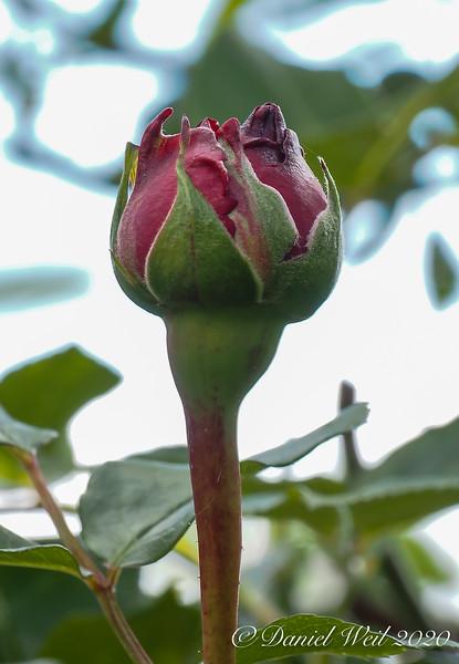 Red Eden rose, courtyard