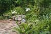 Iris tectorum album, E of shade room