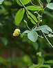 Dbl yellow Lady Banks rose, courtyard