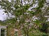 Last gasp of Tai-haku cherry