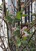 Clematis montana rubra on rose, large arbor