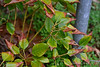 Rhodoleia, courtyard, new growth