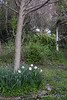 Snowdrop/daffodil circle, Shade Room; Neviusia a. in background