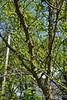 Zanthoxylum americanum, Prickly Ash/Toothache Tree