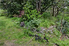 North door alley, yucca, Japmaple, tree peony, S.magnolia, aucubas