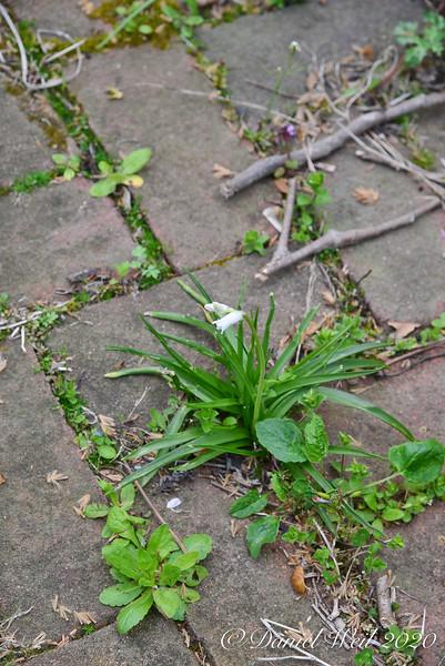 Woods hyacinth self placed in walk in courtyard