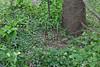Polygonatum 'Silver Streak' emerging @ base of deodar cedar