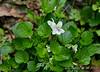 White violet ex Mary Ann F, N path