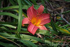 Daylily ex Mary Ann F, highway bed