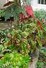 Potted begonias, Daphnes, caladium under Tai-haku