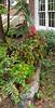 Painted fern, potted begonias, Daphnes, caladium under Tai-haku