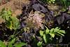 Filipendula ex plant exchange, purple perilla, Solomon's seal