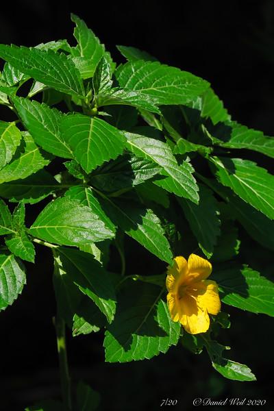 Turnera ulmifolia, tropical, potted