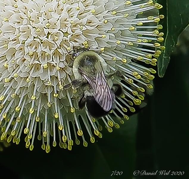 Bumble bee on Cephalanthus
