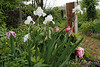 Head of library stairs, iris, tree peonies, dianthus, corydalis, buttercups