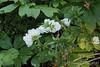 Dbl white azalea, mayapple, Hesperides