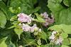 Dbl pink azalea 'Kisses', S of library