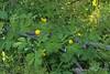 Woods poppy, Stylophorum, a weed.  Dan wanted it included.