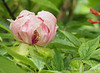 Tree peony opening, North Forty, E side