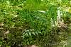 Polygonatum Silver Streak, Japanese painted fern, by Crater path