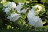 Dbl white azalea, Hesperides