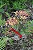 Deciduous azalea, Hesperides x White's last year