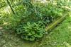 N side of Crater; hostas, Asarum canadense, camellia, maidenhair fern