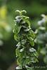 Cornus sanguinea compressa ex Steve S, ctyd