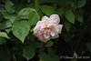 Rose in stones S of big arbor