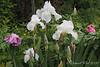 White iris, tree peonies, S of library.  (White? Light blue?)