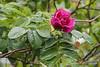 Rugosa rose, courtyard