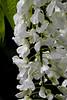 White Japanese wisteria, big arbor