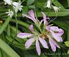 Azalea Koromo Shikibu (???) and woods hyacinths N of g'house
