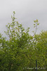 Last gasp of yellow magnolias, ctyd.