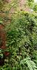 E of dining room, Polygonatum kingianum coming up thr rose 'Gardenia'