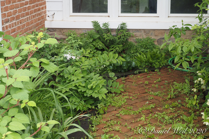 L-R: Wineberry, Polygonatums, white native azalea, holly fern, false lily of v.