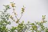 Last gasp of yellow magnolias, ctyd.  Other lvs are Zanthoxylum americanum ex Bartram's Garden, Phila.