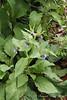 Comfrey (Symphytum caucasicum), courtyard