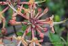 Deciduous azalea, Hesperides