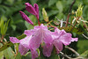 Rhodo, North Forty, S side