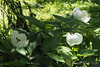 Japanese woods peony, NW corner of Crater
