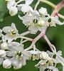 Maianthemum oleraceum, N of guest room