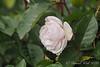 Rose on rocks S of arbor