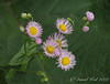 Bellis-daisy-type weed, but so pretty. Ctyd.