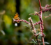 VERY blown up tiny butterfly on weed stem
